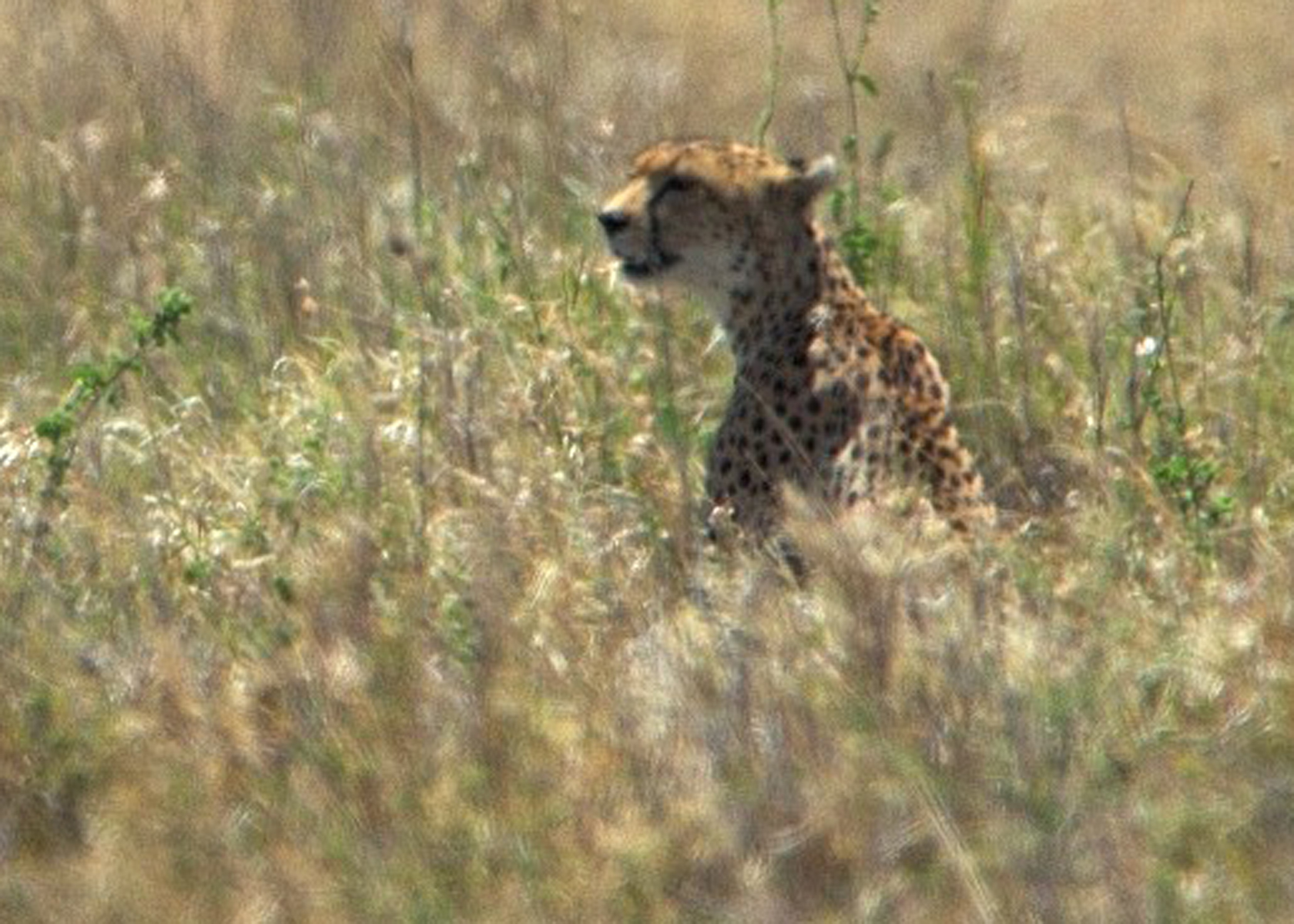 Serengeti cheetah surveys the tall grassland--photo by Jay Torborg