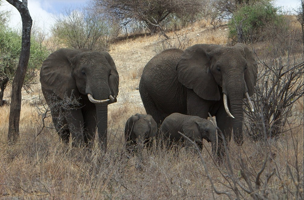 A family of elephants in Tanzania's Serengeti National Park--photo by Jay Torborg